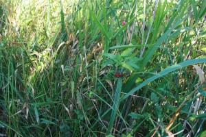 Solano dulcamarae - Phragmitetum australis