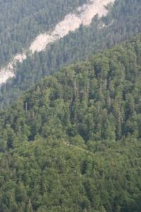 Abieti albae - Fagetum sylvaticae