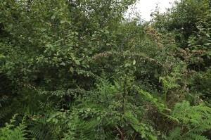 Frangulo alni - Pyretum cordatae