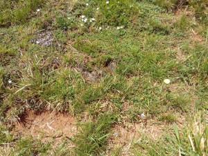 Teucrio pyrenaici - Potentilletum montanae