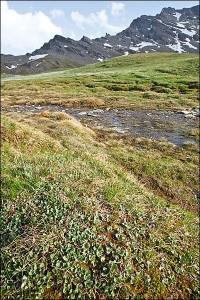 Salicetea herbaceae