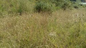 Dauco carotae subsp. carotae - Melilotion albi