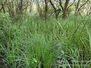 Phragmito australis - Caricetea elatae