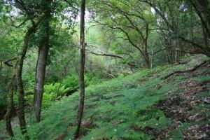 Pino pinastri subsp. atlanticae - Quercetum ilicis