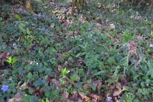 Actaeo spicatae - Mercurialion perennis