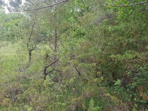 Rubo ulmifolii - Viburnion lantanae
