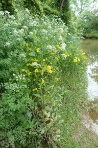 Senecioni aquatici - Oenanthetum crocatae
