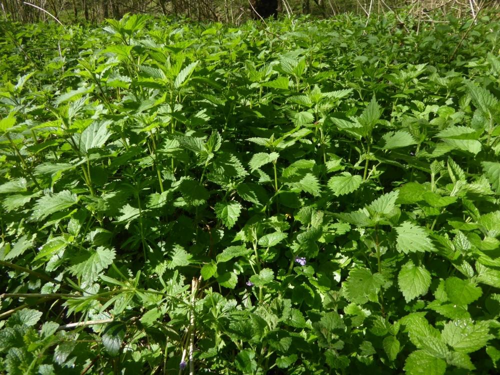 Glechomo hederaceae - Urticetea dioicae