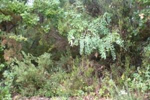 Erico scopariae - Cytisetum scoparii