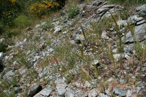 Tuberario guttatae - Plantaginetum bellardii
