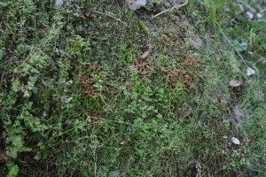 Selaginello denticulatae - Anogrammetum leptophyllae
