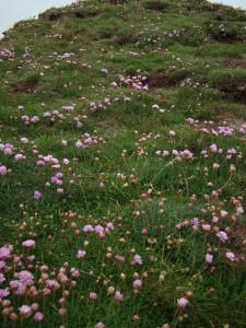 Armerio maritimae - Festucetea rubrae subsp. pruinosae