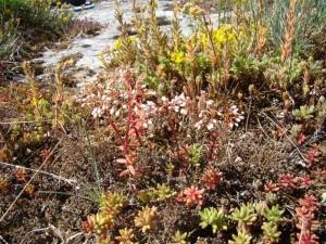 Sedo albi subsp. albi - Scleranthetea perennis subsp. perennis