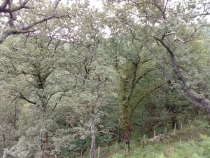 Sorbo torminalis - Quercetum pyrenaicae