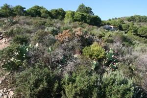 Cytiso spinosi - Ericetum arboreae