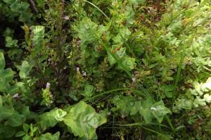 Anagallido tenellae - Juncetum bulbosi