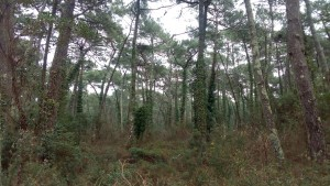 Pino pinastri subsp. atlanticae - Quercetum suberis