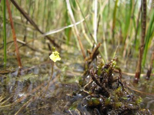 Utricularietum intermedio - minoris