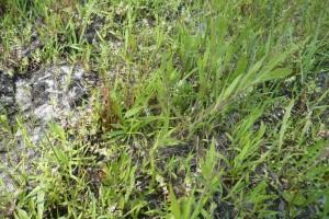 Spergulo rubrae - Illecebretum verticillati