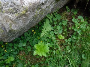 Violo biflorae - Cystopteridetum fragilis