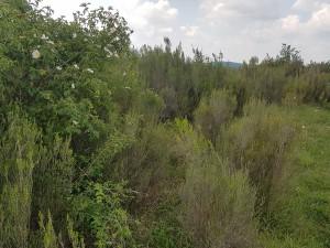 Erico scopariae - Spiraeetum hispanicae