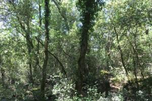 Aceri monspessulani - Quercion ilicis